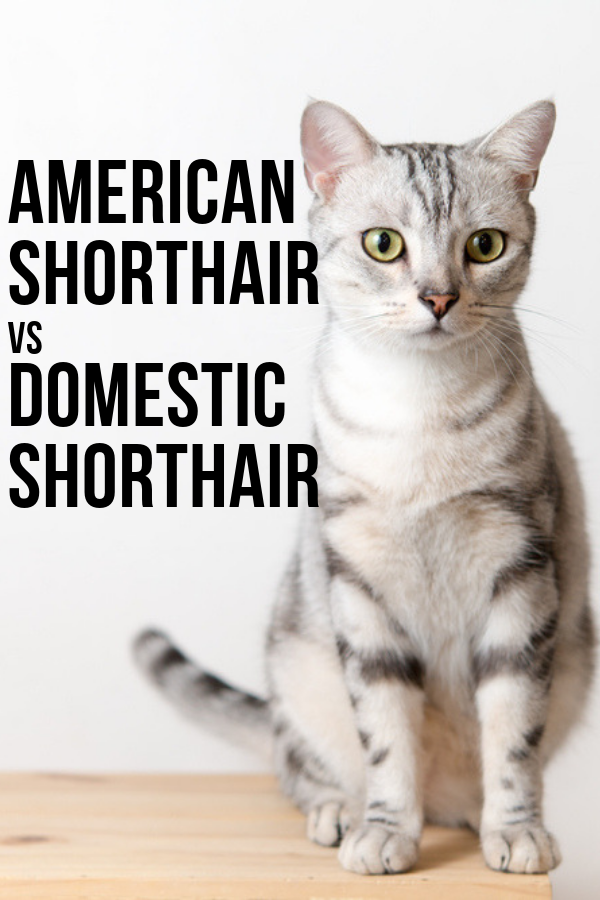 American Shorthair Vs Domestic Shorthair Cat American Shorthair American Shorthair Cat Cute Cats And Dogs