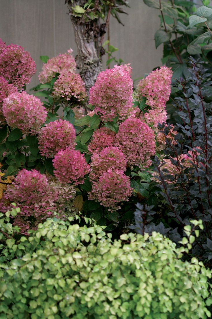 The Wine Hued Blooms Of Petite Bobo Hydrangea Makes A Splash In The Fall Landscape Fall Landscaping Hydrangea Paniculata Panicle Hydrangea