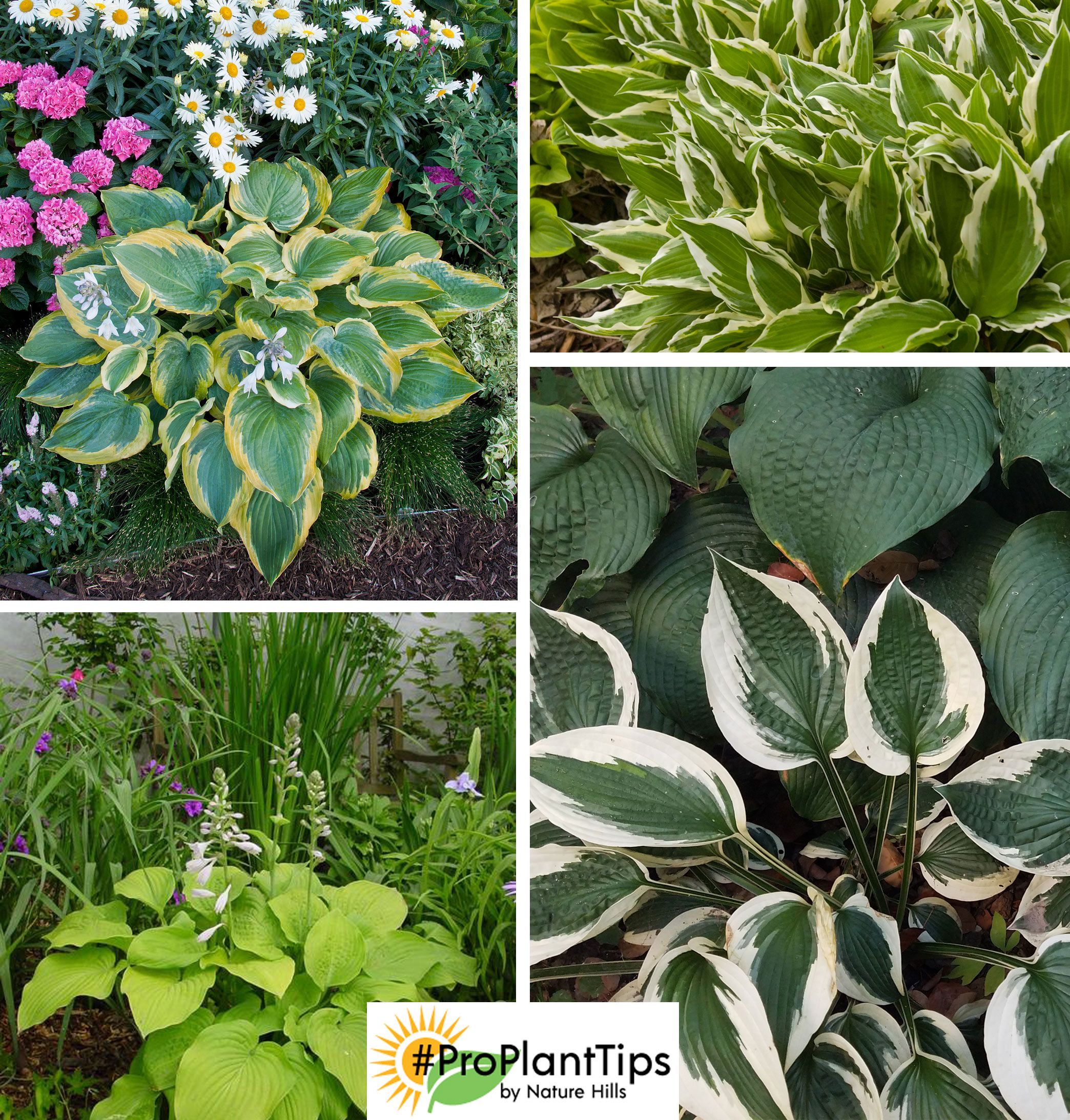 Keep Your Hosta Collection Healthy And Happy Wait Until Jack Frost