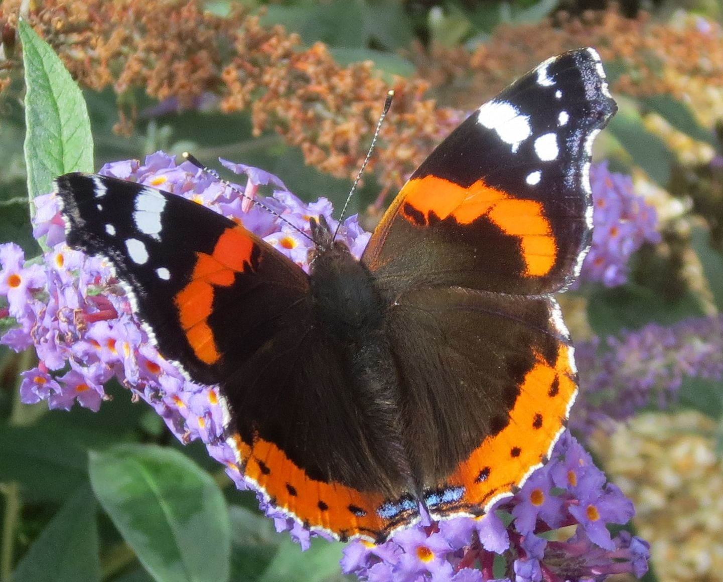 Loads of Red Admirals in the garden for the last few days