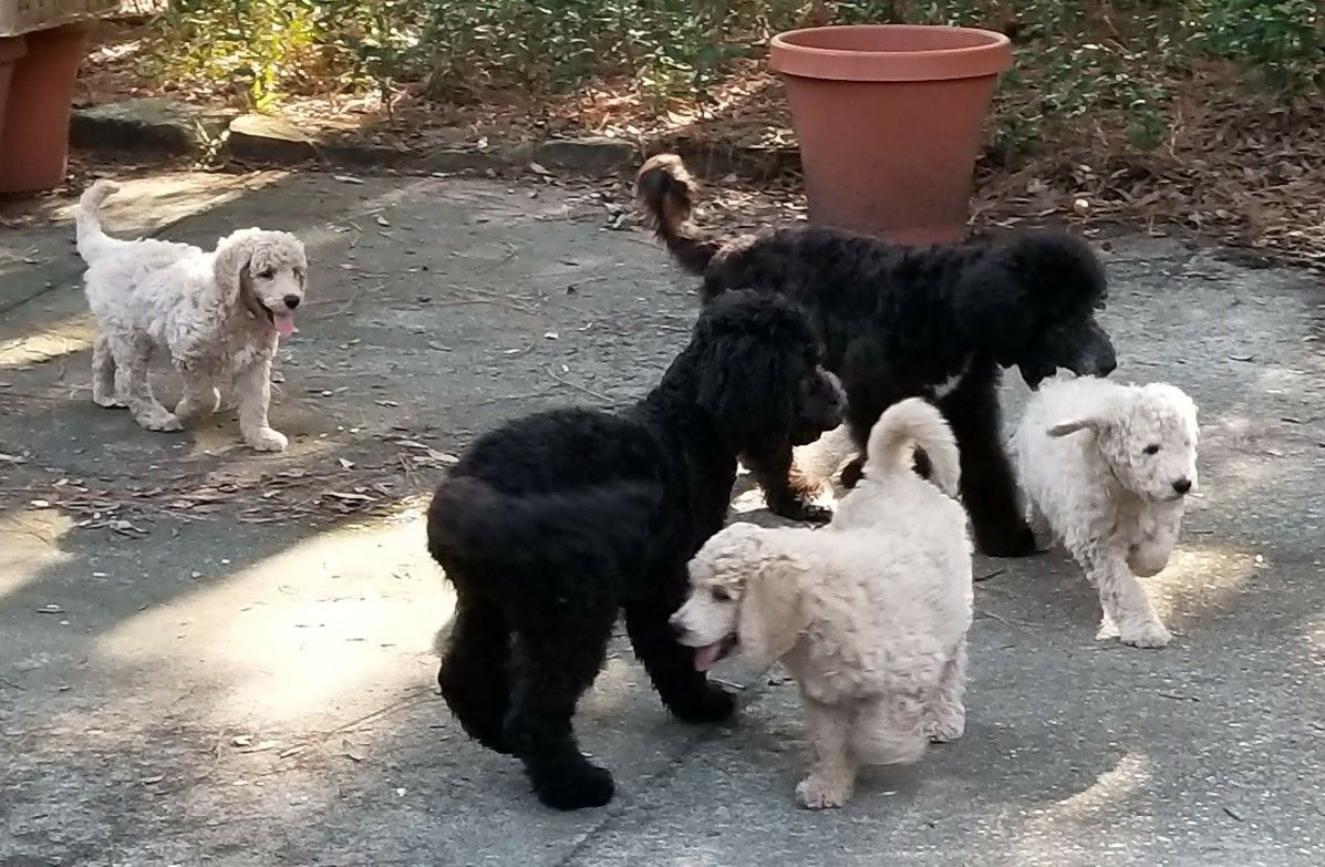 Standard Poodle Puppies At Emerald Coast Breeders Poodle Puppy