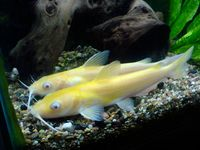 10 inch albino channel catfish in aberdeen open to offers