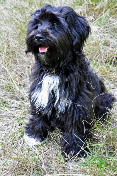 Black Tibetan Terrier Havanese Dogs Tibetan Terrier Cute Dogs
