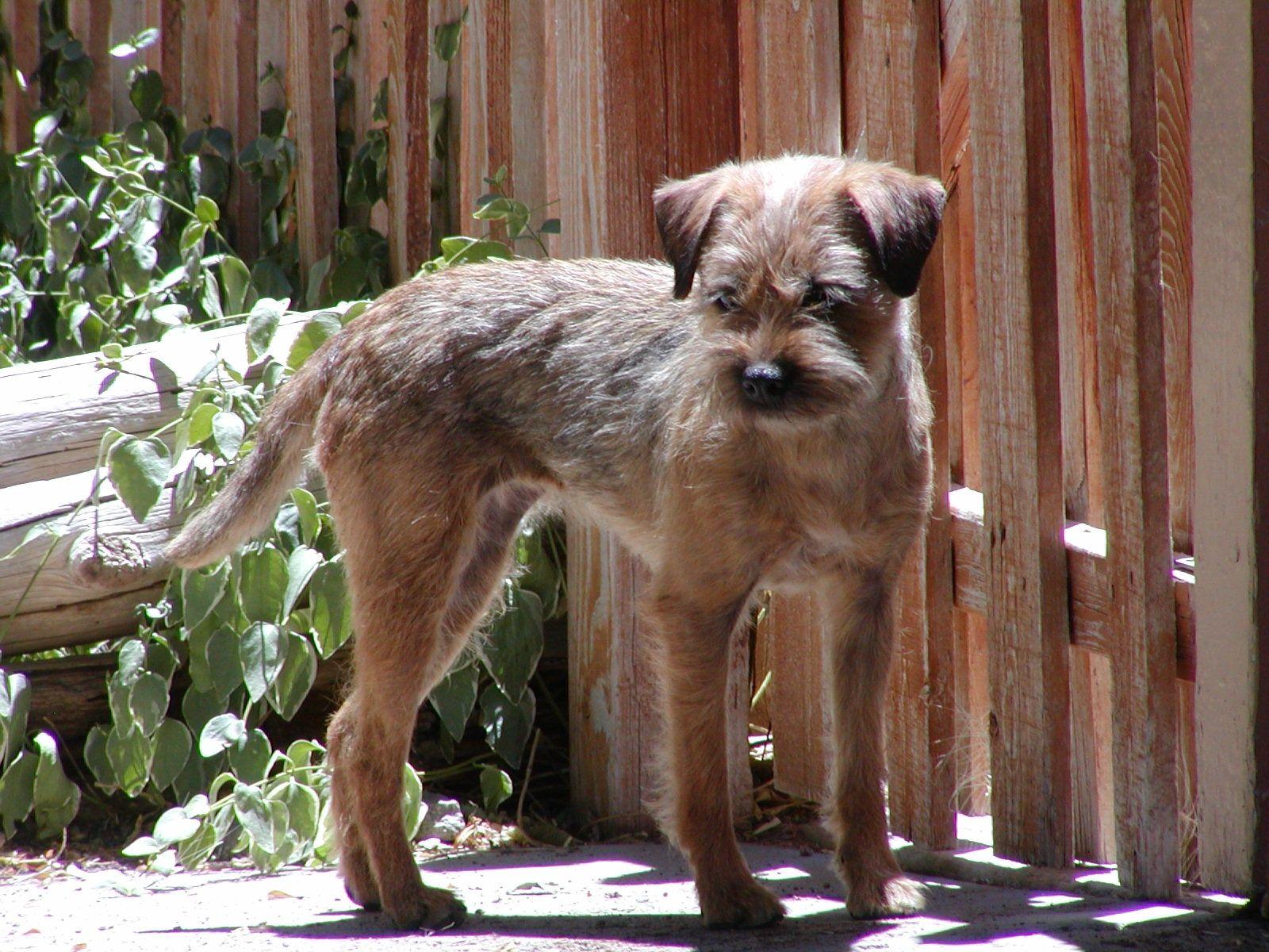 Border Terrier Puppies Young Hopefuls Otley S Border Terriers Az