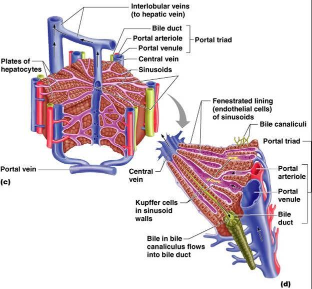 Associate Degree Nursing Physiology Review   Liver anatomy ...