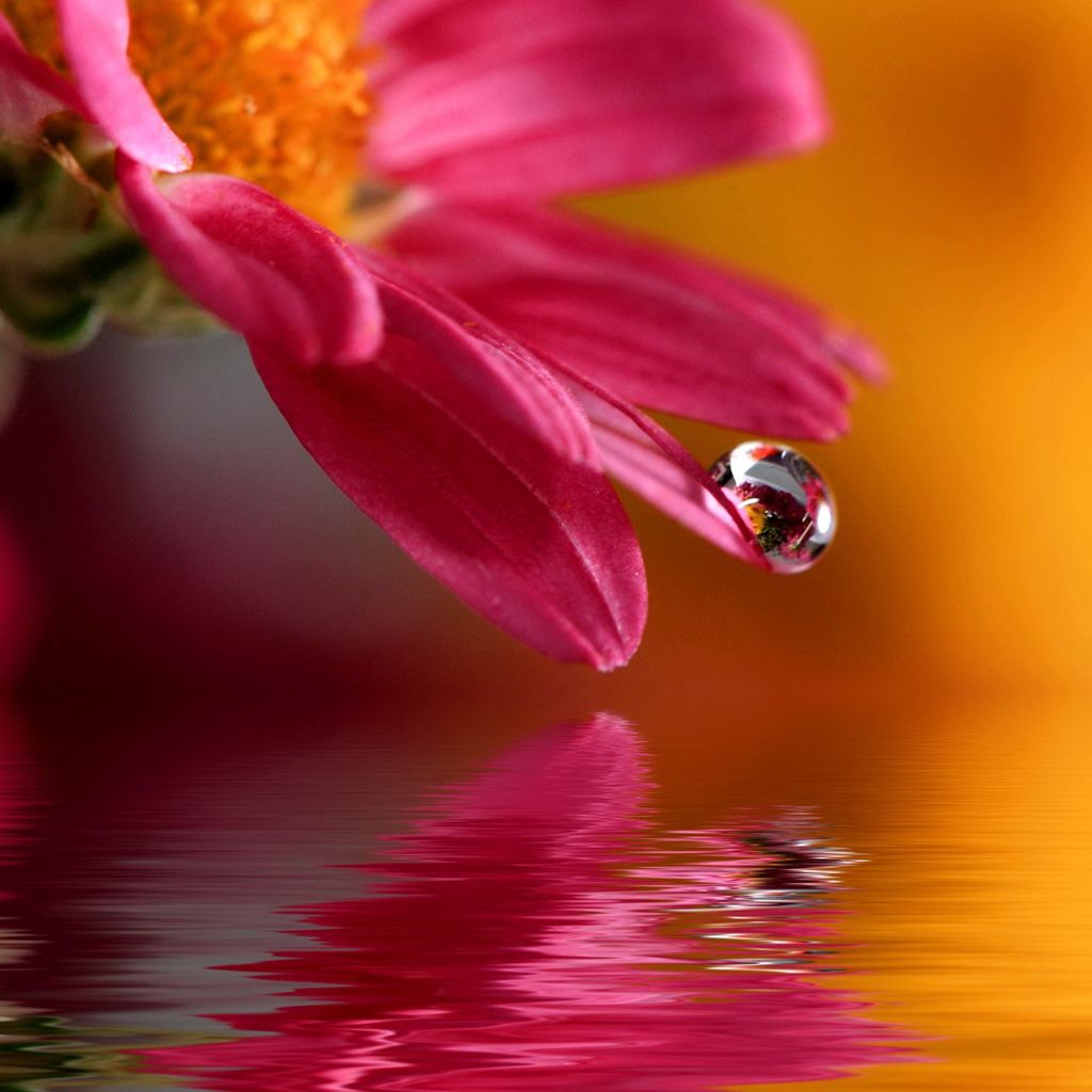 Pure Flower Dew Macro Over Water Surface iPad Wallpapers