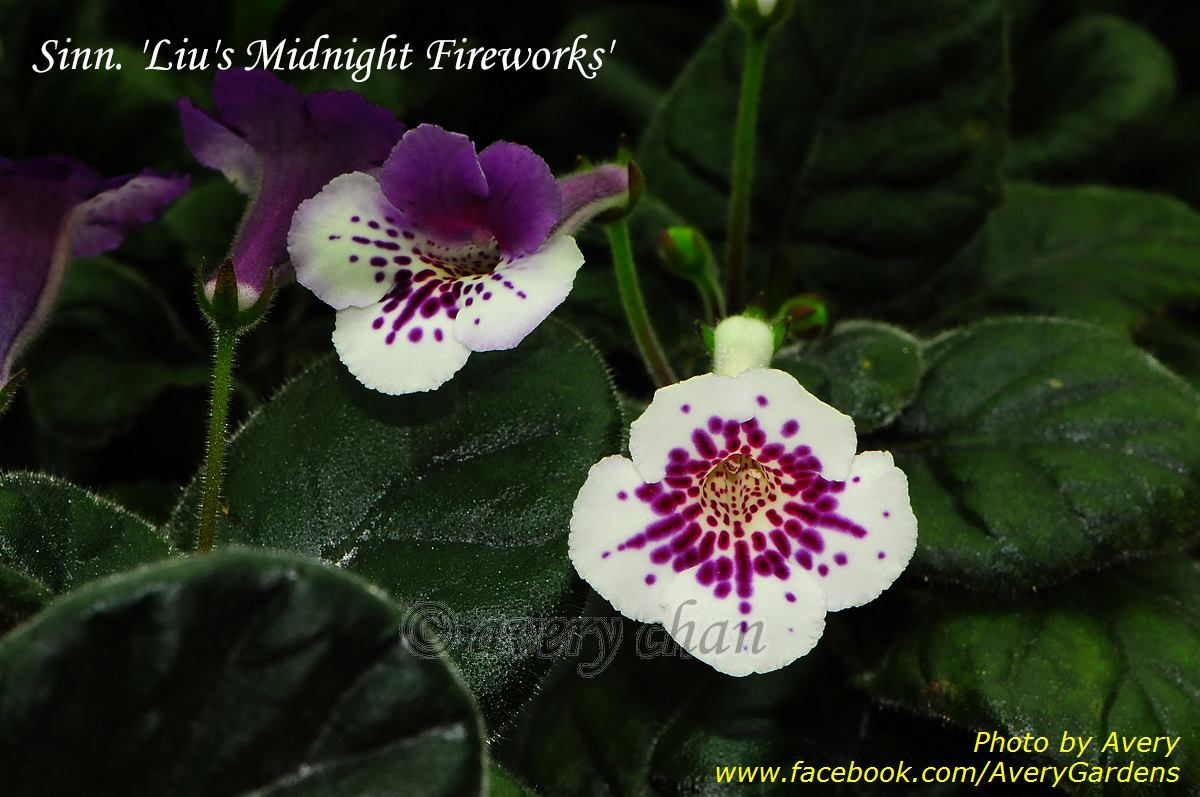 Pin By Ruth Coulson On Sinningias African Violets Plants Garden