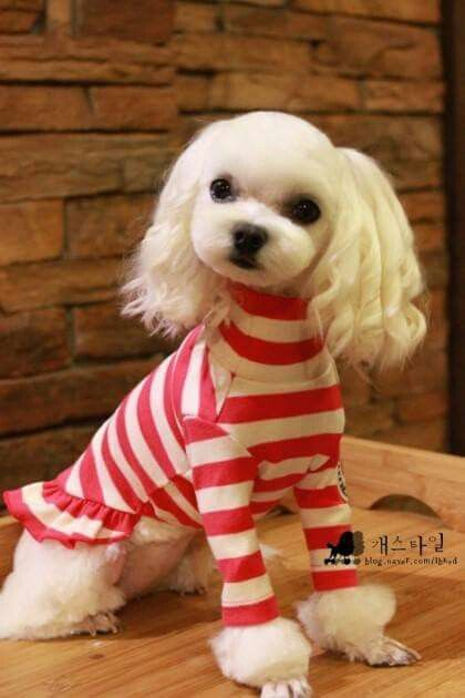 Bichn Orejas Rizadas Grooming Pinterest Maltese Poodle And Dog