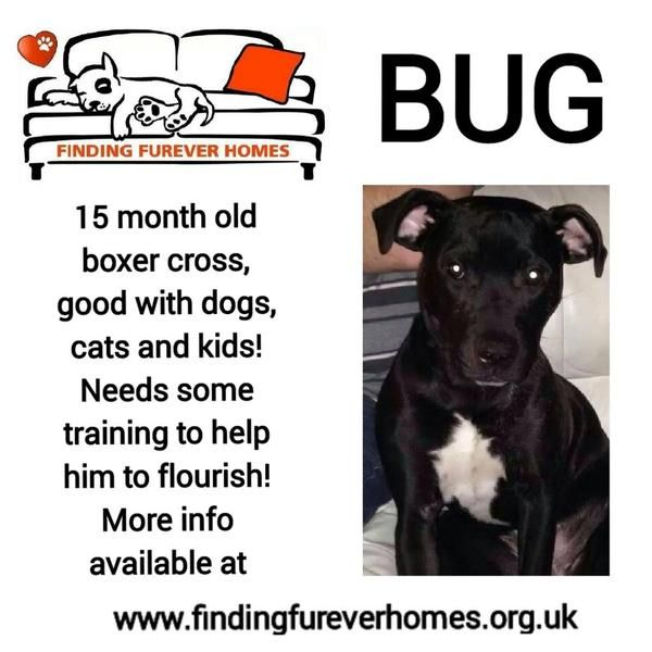 Young Bug will bug you until you give him a furever home please @NWDogRescue