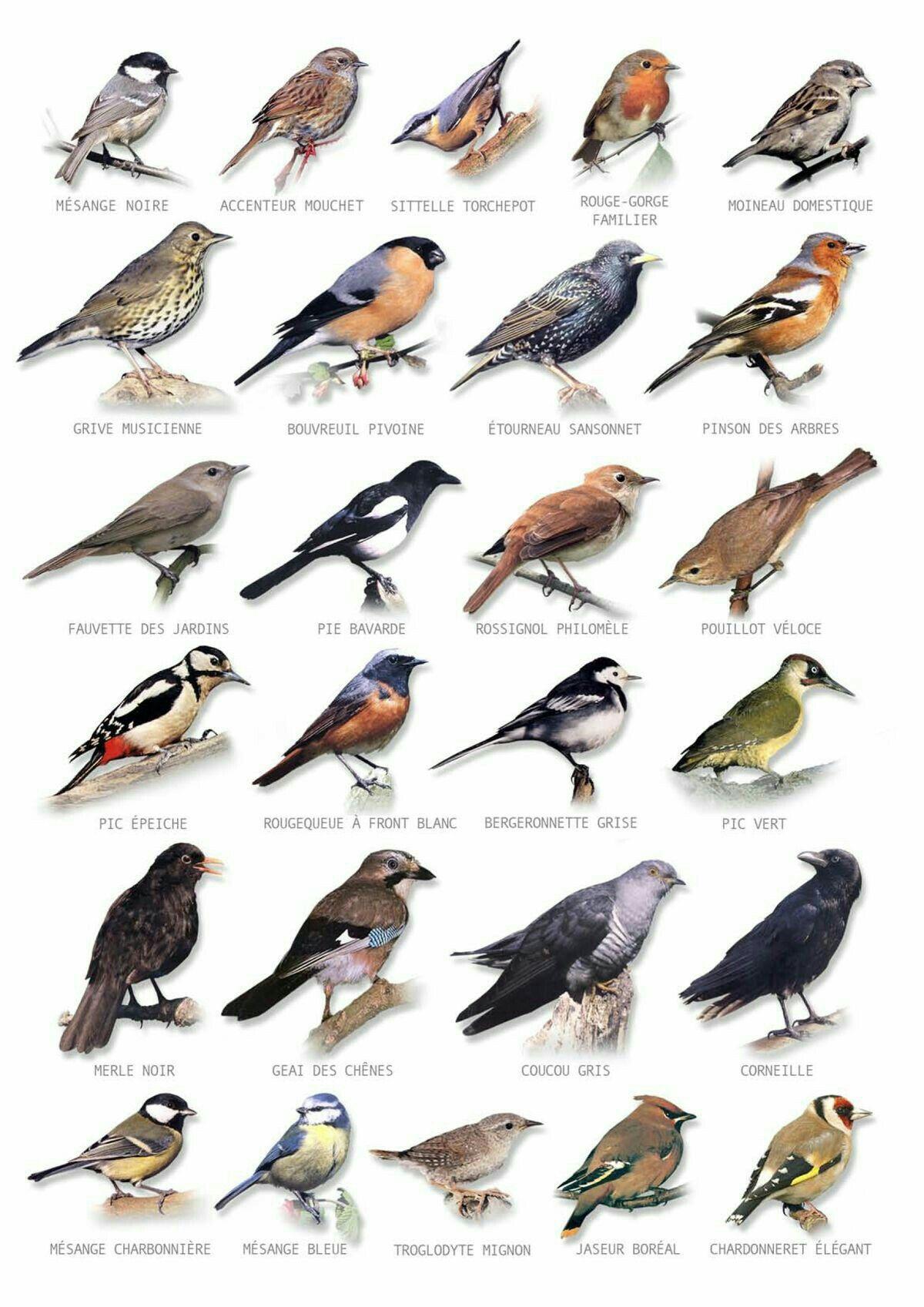 Oiseaux De Chez Nous Oiseaux Des Jardins Oiseaux De France Identification Des Oiseaux