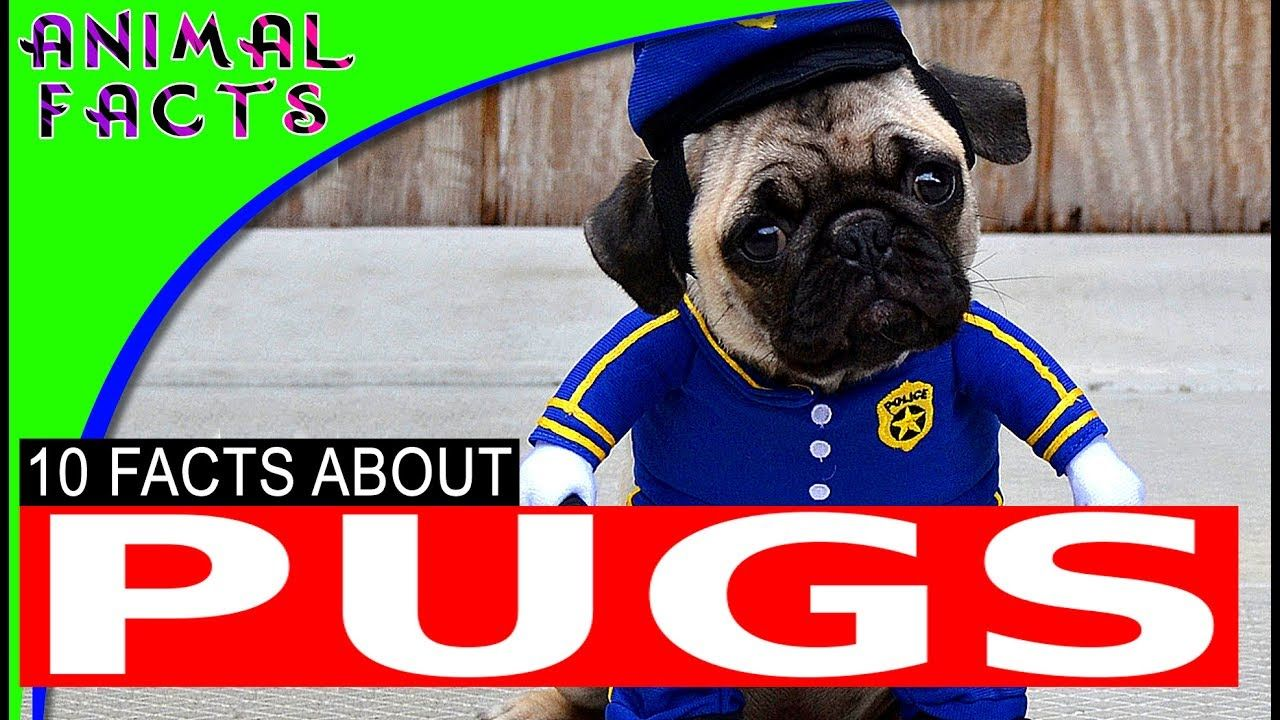 Most Popular Cute Small Dog Breeds Pugs Dogs 101 Dog Breeds Toy