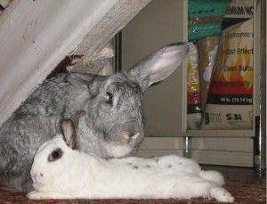 Spaying And Neutering Rabbit Behavior Neuter Bunny Care