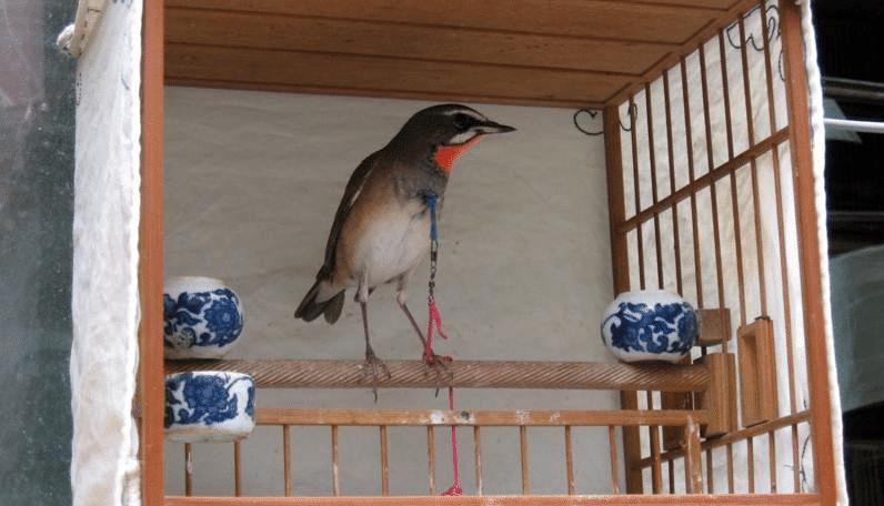 Mengenal Burung Berkecet Leher Merah Dan Habitat Aslinya Habitat Burung Merah