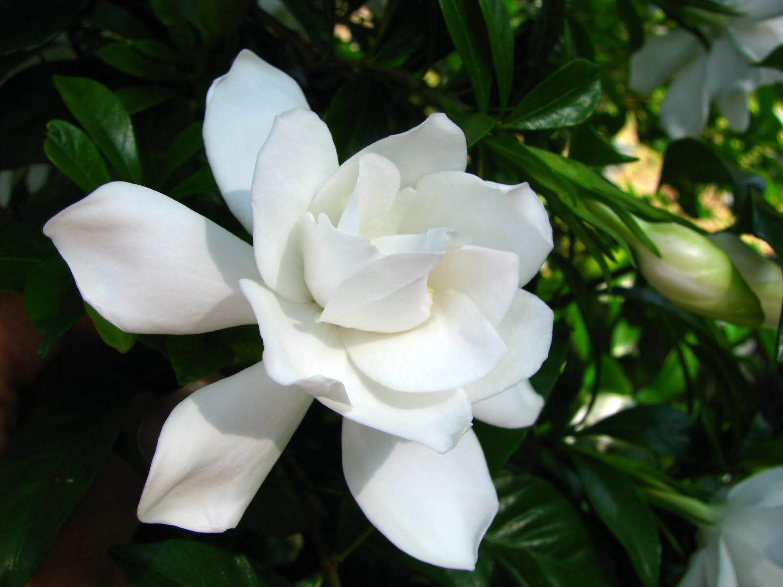 Miami Supreme Gardinia With Images Flowers Gardenia Plants