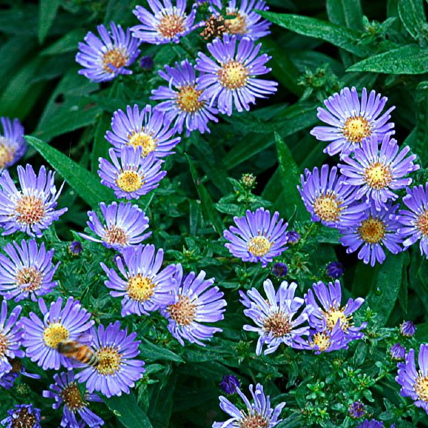 9 Easy Summer Flowers Aster Few Plants Can Brighten A Tired Corner Like These Tough Perennials They Late Summer Flowers Summer Flowers Summer Flowers Garden