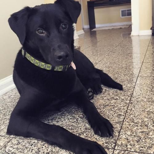 Adopt Clyde On Labrador Retriever Labrador Retriever Mix Clyde