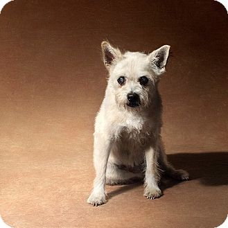Los Angeles, CA Westie, West Highland White Terrier