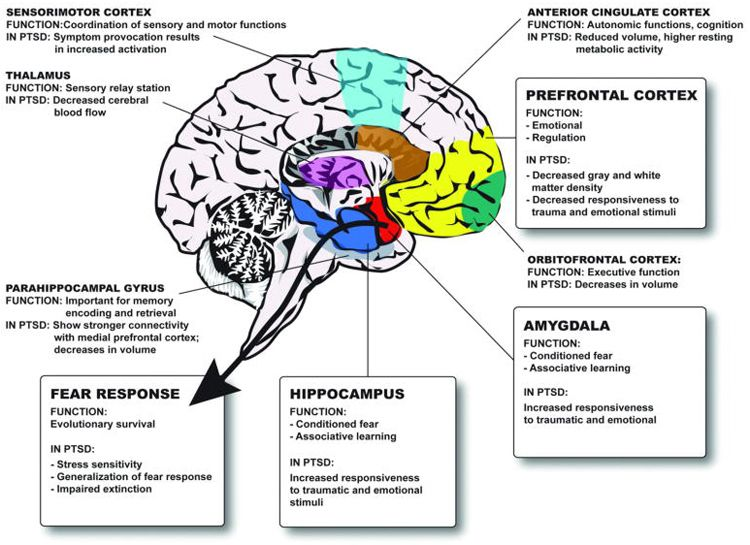 interactions between the amygdala and the hippocampus and prefrontal