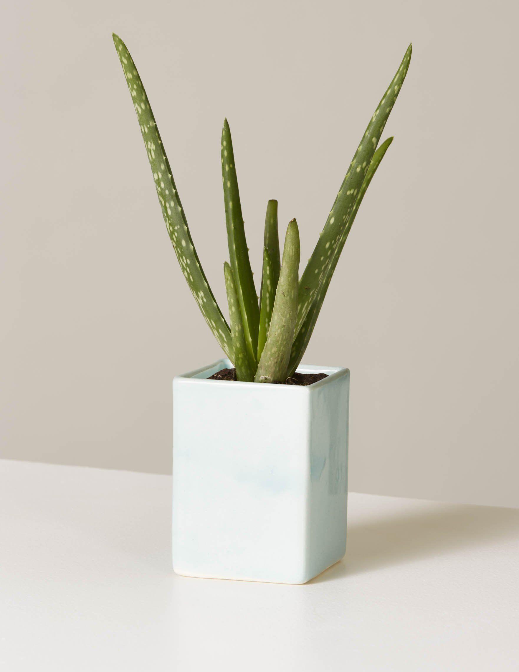 Aloe Vera  Calvert Planter
