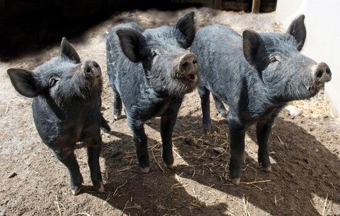Mulefoot Hogs Animals Wildlife Conservation Society