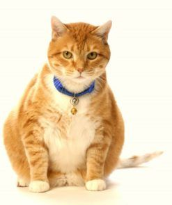 Cat Obesity: Health Risks & Tips to Help Your Feline Slim Down