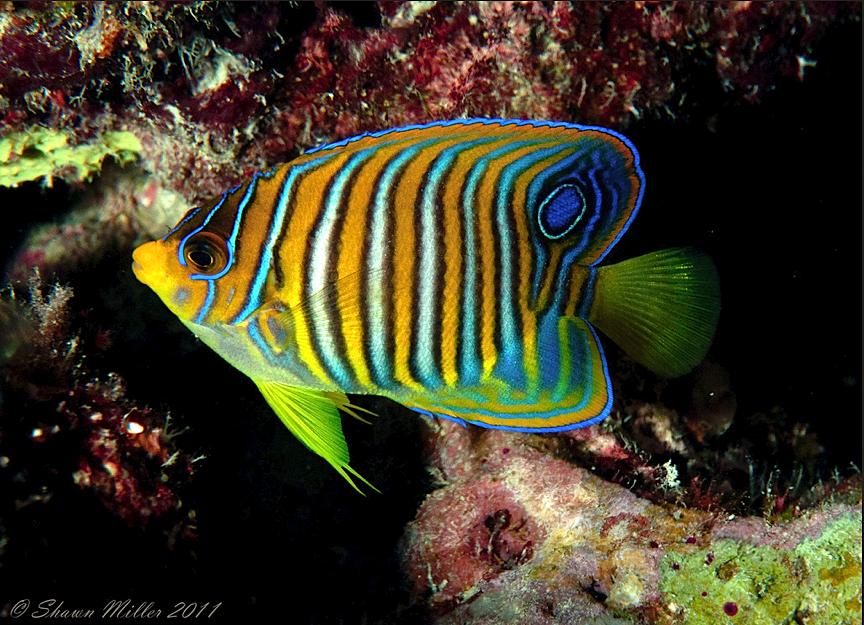 The Regal Angel Pygoplites Diacanthus Marine Fish Angel Fish Sea Fish