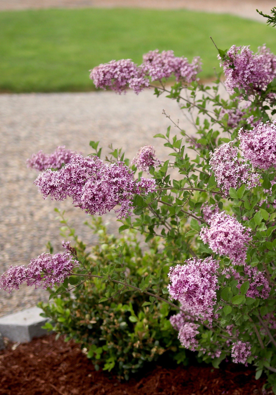 Bloomerang Dark Purple Reblooming Lilac Syringa X Gardening For Beginners Purple Plants Fall Garden Vegetables