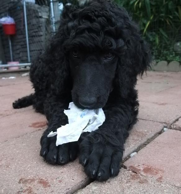 black standard poodle puppy - photo #2