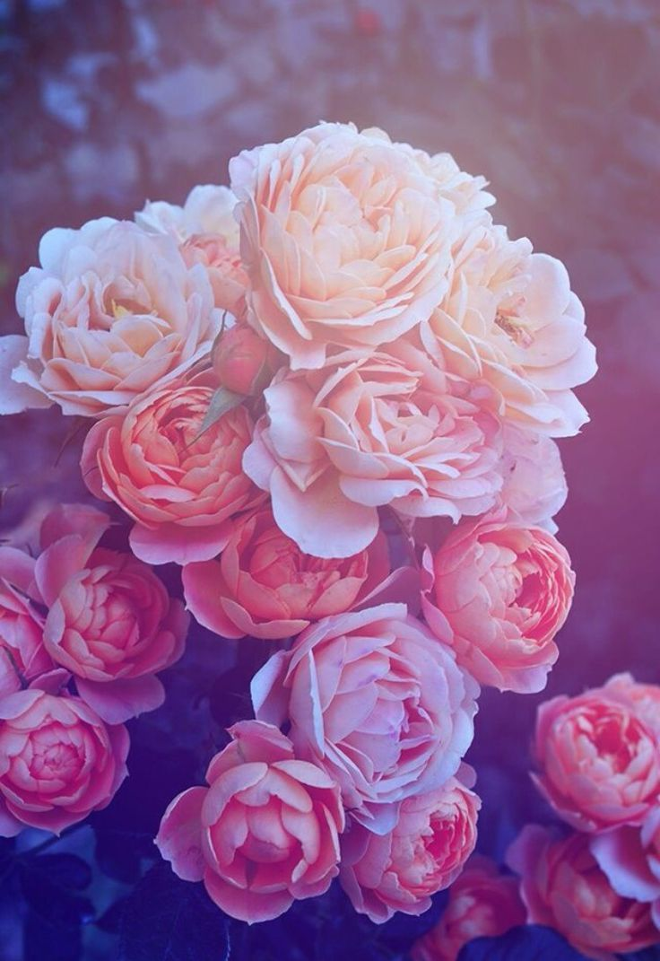Vintage Pink Roses Tumblr wallpaper | Roses | Pinterest ...