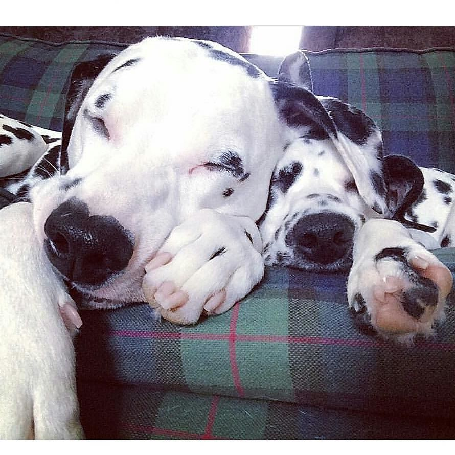 Sunday snoozing. Axels ear makes a great blanket. Credit to @shootermcgavyn by dalmatians_of_instagram #lacyandpaws