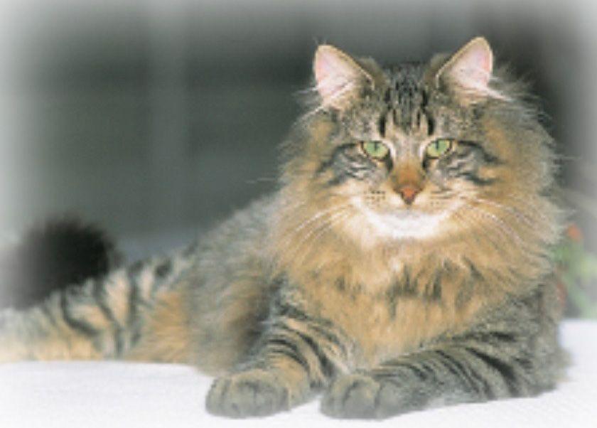 Longhair Cat Breeds | Cats | Pinterest | Cat