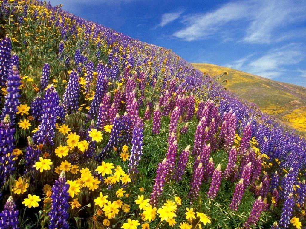Scent_of_Spring_Gorman,California