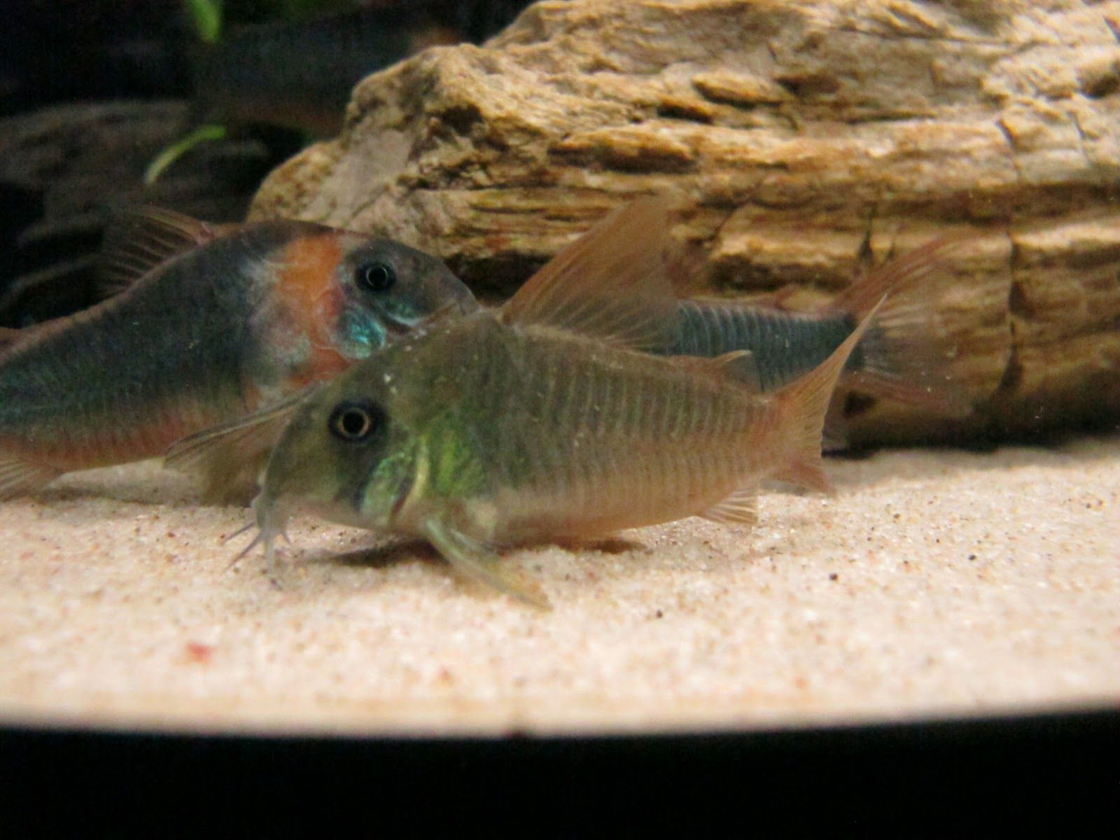 Corydoras Unite Aquarium Catfish Fish Pet Catfish