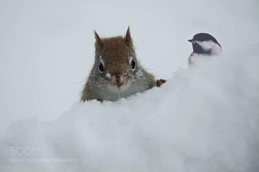 White weather is there Berry by Andre_Villeneuve. @go4fotos