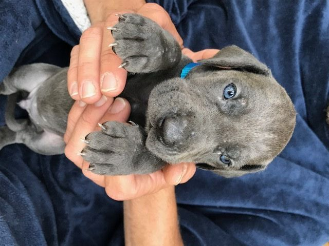 Litter Of 8 Great Dane Puppies For Sale In Jamestown Ny Adn 35334 On Puppyfinder Com Gender Male Age 5 Weeks Puppies For Sale Great Dane Puppy Great Dane