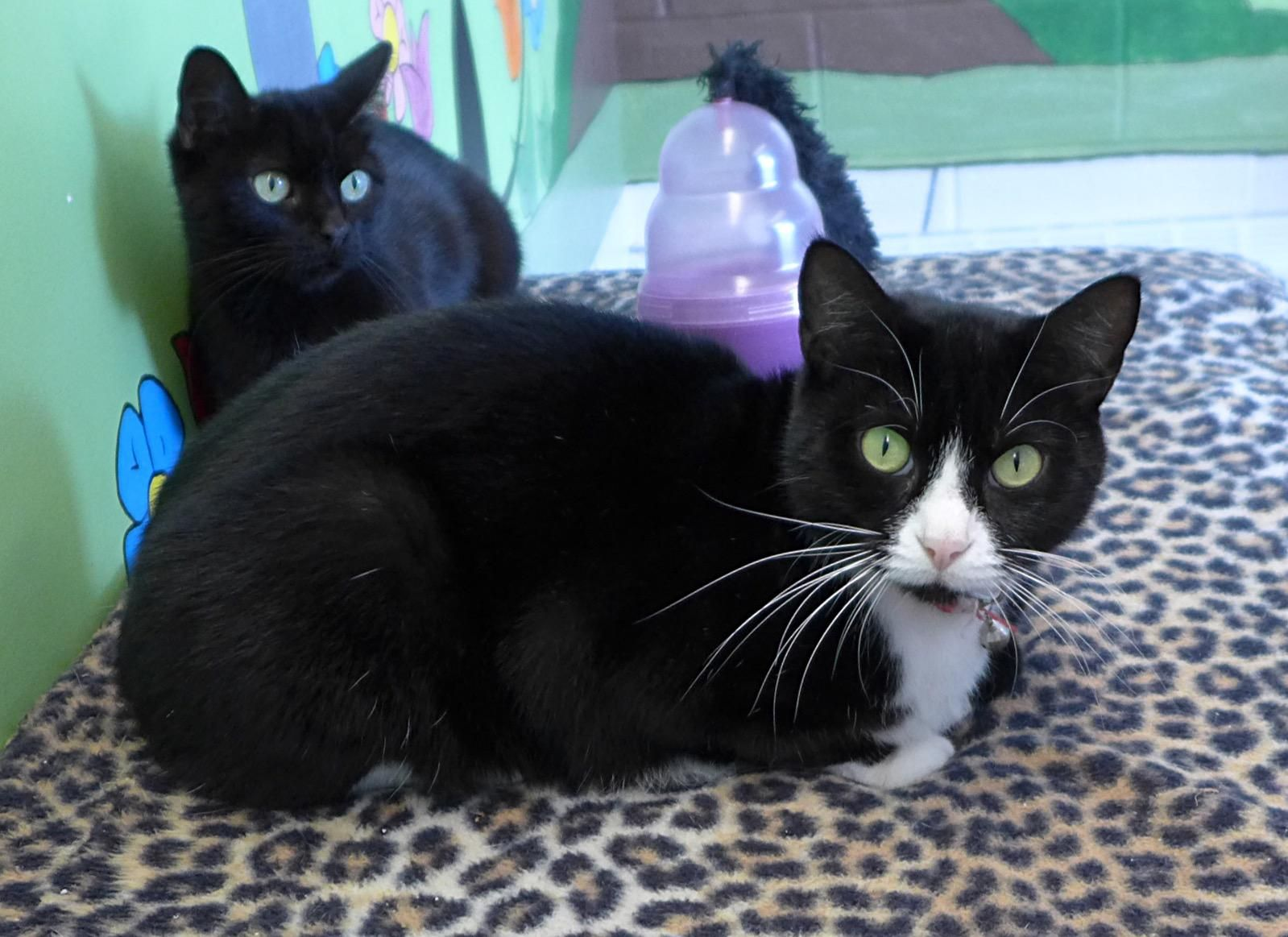 I Found Soxy 32258343 On Kitten Adoption Cat Adoption Cats