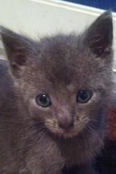 Monkey (and Kiwi!) is an adoptable Russian Blue Cat in New York, NY.  Monkey is a 5 week old kitty who is full of life and love! He LOVES to be snuggled, and to investigate the vacuum monster (this ...