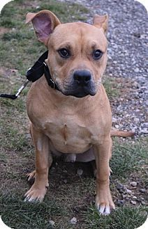 Valparaiso, IN - Boxer/Pit Bull Terrier Mix. Meet Donner, a dog for adoption. http://www.adoptapet.com/pet/17153168-valparaiso-indiana-boxer-mix