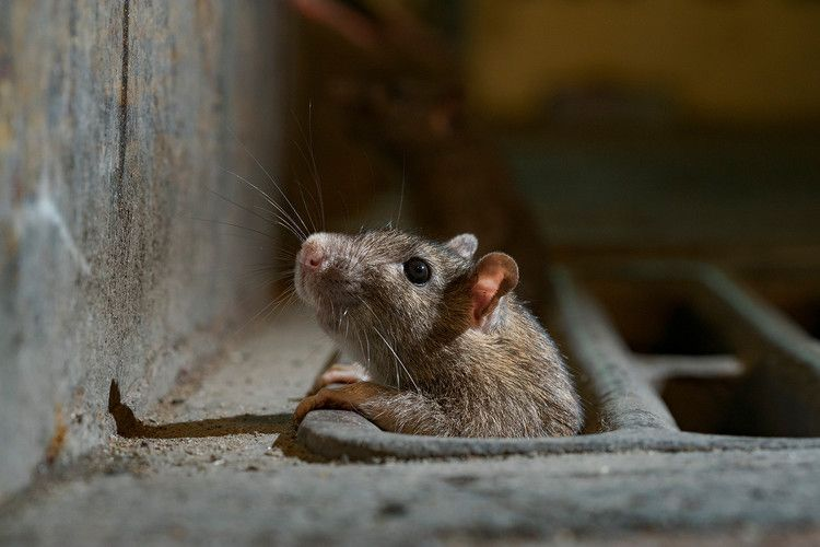 Rats Come Out Of Hiding As Lockdowns Eliminate Urban Trash In 2020 Animals City Rats Animals Wild