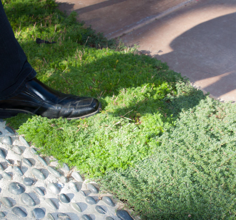 Astounding Alternative Zu Rasen Das Beste Von Lawn - Chamomile, Elfin Thyme