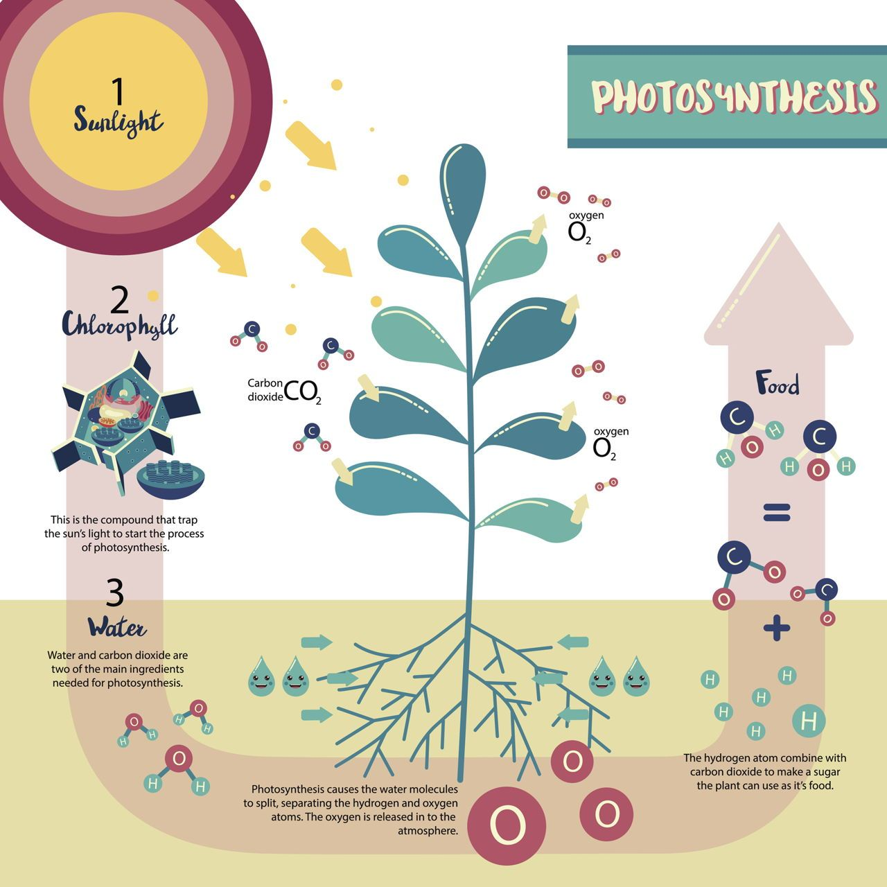 Photosynthesis Plant Cell Diagram | Photosynthesis, Plant ...