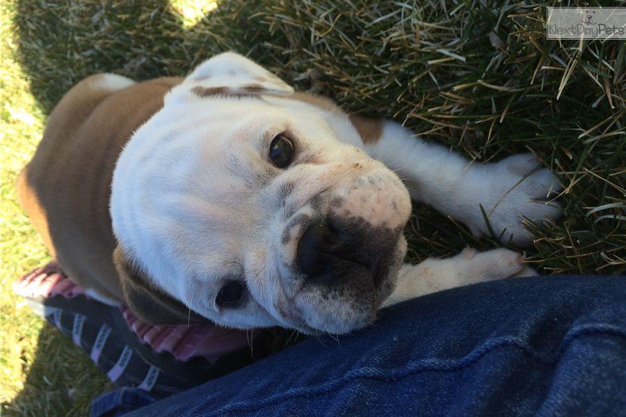 Victorian Bulldog Puppy For Sale In Neosho Mo Adn 38457 On
