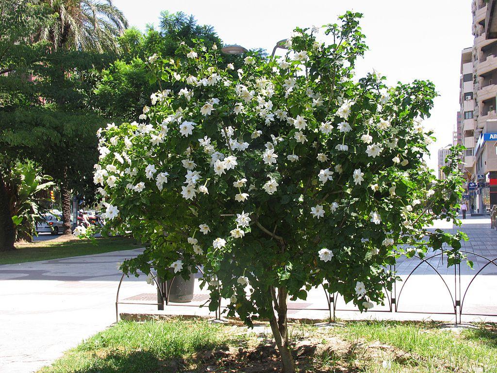 gardenia thunbergia - Google Search | Verde | Pinterest | Gardenias ...