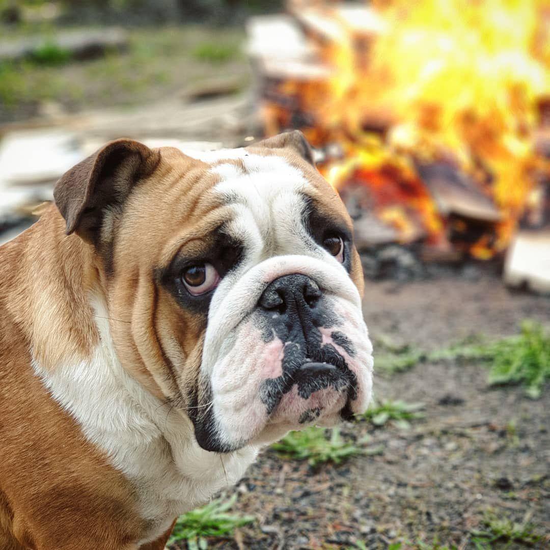 Pin op englishbulldog bulldog