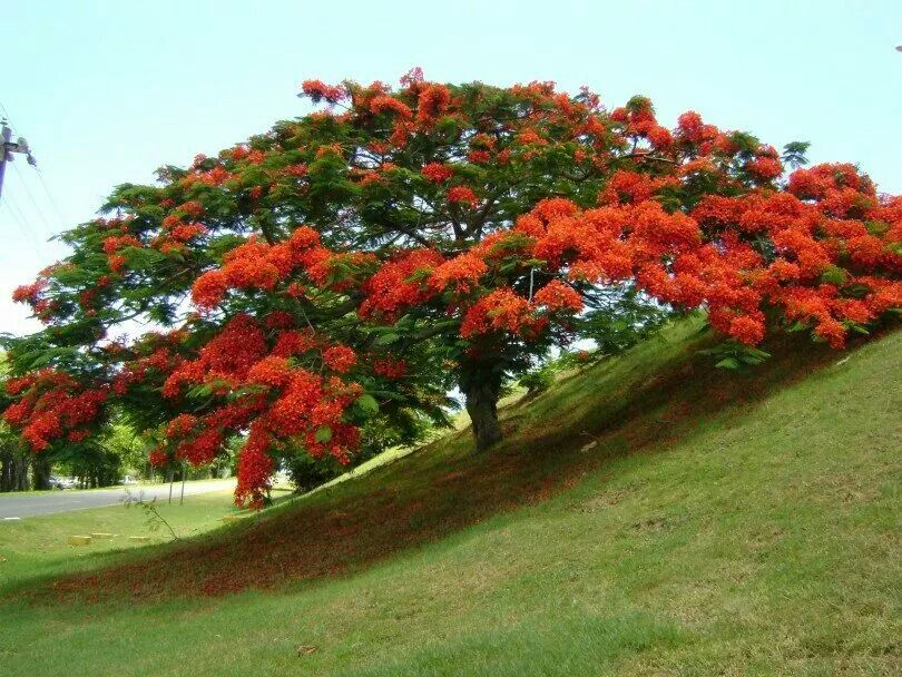 Flamboyan One Of My Favorite Trees In Puerto Rico Puerto Rico