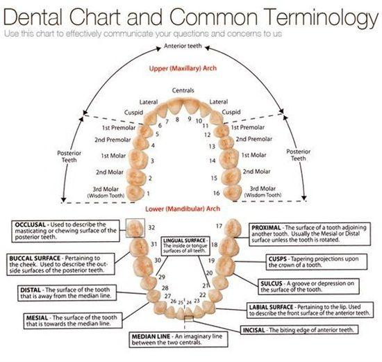 Dental Terminology Dentaltown Patient Education Ideas Dental Terminology Dental Hygiene School Dental Assistant Study