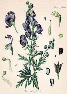 Eisenhut Botanische Zeichnung Botanische Illustration Botanische Abbildungen
