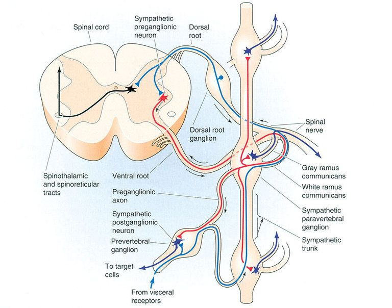 Paravertebral And Prevertebral Ganglion Pathways Neuro