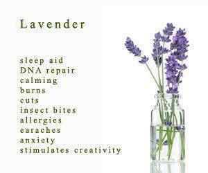 There are hundreds of benefits to the use of lavender. Angustifolia (English) lavender is the one that possesses skin healing benefits.