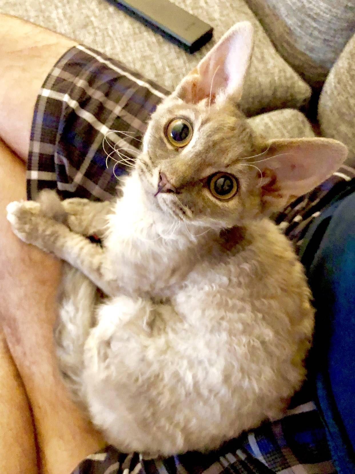 Have You Ever Seen A Devon Rex Kitten Music Indieartist Chicago Devon Rex Kittens Devon Rex Cats Devon Rex